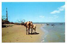 Thirsty Colt Assateague Island Virginia Postcard Horses Chincoteague Ponies