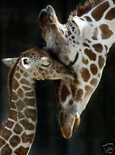 MOTHER & BABY GIRAFFE LOVE  * QUALITY CANVAS ART PRINT