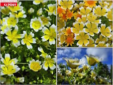 25 POACHED EGG PLANT SEEDS( Limnanthes douglasii), Good pot plants