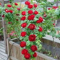 100 stücke Rosa rot Klettern Rose Samen Mehrjährige Blume Garten-Pflanzensa N2Z6