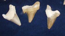 Extinct Otodus Obliquus Shark  Teeth, Tooth Fossil  x 3 lot