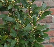 20PCs Laurus Nobilis Seeds Bay Laurel Tree Seeds Viable Plants Bonsai in Garden
