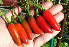 Jalapeño Jalafuego - A High-Yielding, Top Quality Jalapeño Chilli Pepper Variety