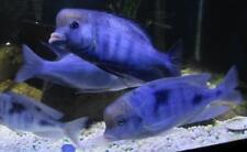 3 Blue Moori Dolphin Cichlid Live Freshwater Aquarium Fish
