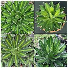 10 semi di agave lophantha , piante succulente,piante grasse, seed succulents