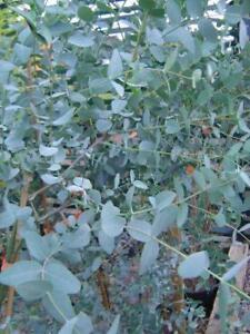 Eucalyptus Gunnii Silver Tropfen supplied in 9cm pot
