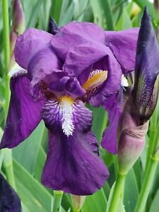 ~MISS DELMY~Gorgeous re-blooming tall unidentified violet heritage bearded iris