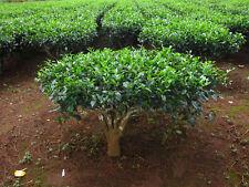 50 CAMELLIA sinensis Green Tea Seeds Fresh Fragrant Rare Seeds