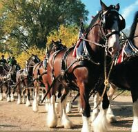 Budweiser Clydesdale 8 horse hitch Colonial Williamsburg VA Vintage Postcard