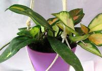 Variegated Hoya Plant in Plastic Pot With Macrame Hanger