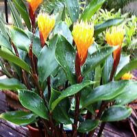 Golden Brush Dwarf Ginger Burbidgea schizocheila Live Plant