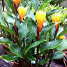 Golden Brush Dwarf Ginger Burbidgea schizocheila Live Plant