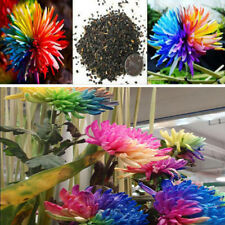 100Pcs/pack Rainbow Perennial Chrysanthemum Flower Seeds Bonsai Plant Garden