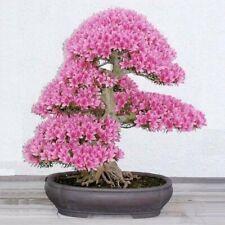 RARE Cherry Blossom Bonsai, Japanese Sakura Tree, Pink Flower, 10 Seeds