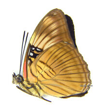 Unmounted Butterfly/Nymphalidae - Adelpha mesentina, male, Peru