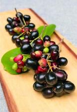 Duhat Fruit - Indian Wax Apple - 1  Feet Tall - Ship in 1 Gal Pot