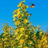 Maximilian Perennial Sunflower 3-8' Butterflies & Finches Love Non-GMO 30 Seeds
