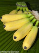 10 X MUSA BALBISIANA EDIBILE Banana Plant Tropical Seeds  FROST HARDY