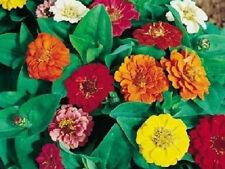 500 Seeds Zinnia Dahlia Flowerd Mix Seeds Flower Seeds