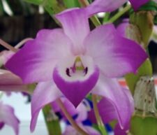 Dendrobium linawianum 'Red Apple' Species Fragrant Awesome Psuedobulbs