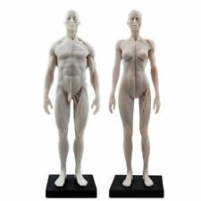 30cm Female Male Anatomical Anatomy Skull Head Body Muscle Bone Teach Model Ce