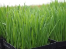 100 graines à semer - HERBE A CHAT - Complément alimentaire pour le transit