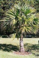 2 winterharte Sabal-Palmen schnellwüchsige exotische Pflanzen für den Garten