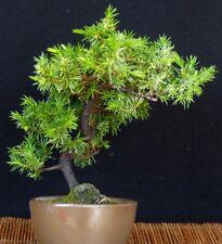Bonsai - Igelwacholder aus Japan - Shohin - Juniperus rigida - Freilandbonsai #2
