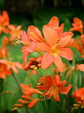 3 New Crocosmia Peach Sunrise named by Bali-Hai Nursery garden plant
