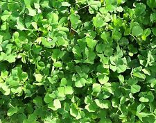 10 lbs Alfalfa and Clover Mix Seeds, Red, Ladino, Alsike clovers, Deer Plot Seed