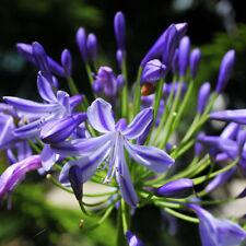 2 Pcs Purple Amaryllis Bulbs Beauty Bonsai Flowers Seeds Garden Viewing Decor