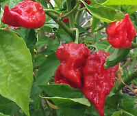 Bangladeshi Naga - A Catastrophic, Earth-shattering Hot Chilli for Your Burn