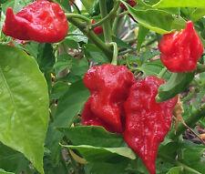 Bangladeshi Naga - BULK 50 Seeds - Extreme Hot Chilli for Earth-shattering Burn