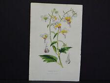 Van Houtte, Botanical, 1858 #02 Loasa Picta