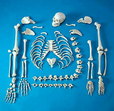 NEW LIFE SIZE FULL DISARTICULATED HUMAN SKELETON ANATOMICAL MODEL with SKULL