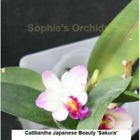 Cattlianthe Japanese Beauty 'Sakura' bare root S899