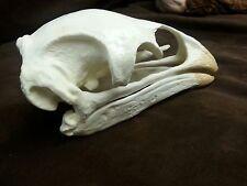 Moa Bird Skull Replica