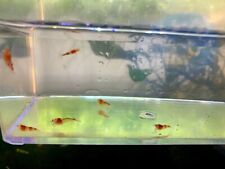 10+2 Free Crystal Red Shrimp CULLS A-SS CRS Culls Free Fedex 1-2 day Shipping