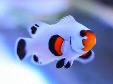 x1 SNOWFLAKE WYOMING CLOWN FISH - TANK RAISED - AMPHIPRION OC. - FREE SHIPPING