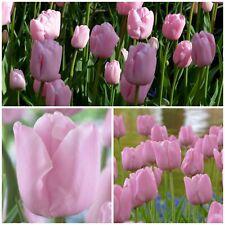 Pink Diamond Tulips x 30 Bulbs Beautiful Pale Pink Spring Flowers.
