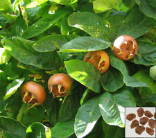 MEDLAR - 10 seeds - Mespilus germanica - ornamental shrub seeds #834