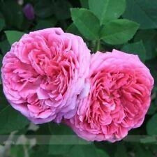 Heirloom Pink Damask Rose Bush Flower 50 Seeds Light Fragrant plant Garden