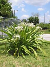 Giant White Spider Lily seeds Crinum Lily, C. Asiaticum 5 bulbs