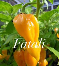HOT CHILLI PEPPER - FATALII - 10 SEEDS - EXTREMELY HOT