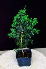 """Foemina Juniper ( Needle Juniper ) Pre-Bonsai Tree - 6"""" Pot"""