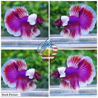 Live Betta Fish High Quality Halfmoon HM Male Lavender Dumbo