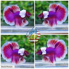 Live Betta Fish High Quality Halfmoon HM Male Lavender Dumbo