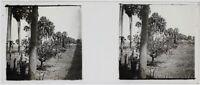 Africa Alberi Foto A12 Placca Da Lente Stereo Vintage Ca 1910