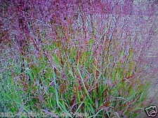 PRAIRIE FIRE RED SWITCH GRASS  TEXTURED PLANT LOOK FOR ALL LANDSCAPE & GARDENS.