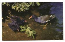 British Birds Moorhen Marsh Hens Water Bird England Postcard Salmon Series